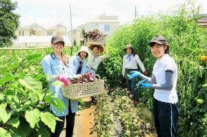 赤紫蘇を収穫する