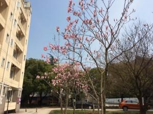 寮の近くで咲いていた桜