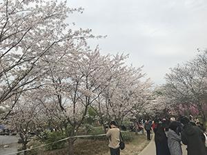 上海ではお花見ができないと思っていましたが、この植物園などで桜を楽しめました
